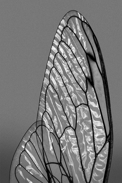 Shimmers of Light on Cicada Wings (A0020465)