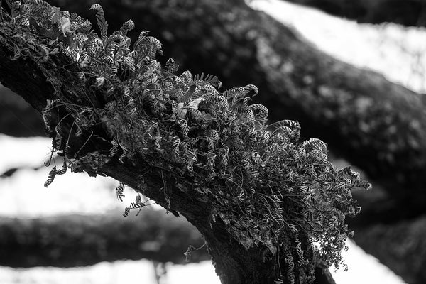 Tree Branch with Ferns, black and white photograph by Keith Dotson. Click to buy a print.