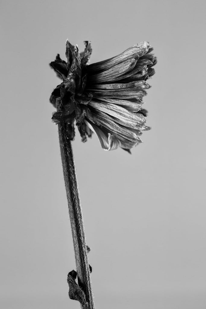 Black and white photograph of a small dead flower by Keith Dotson. Buy a fine art print.