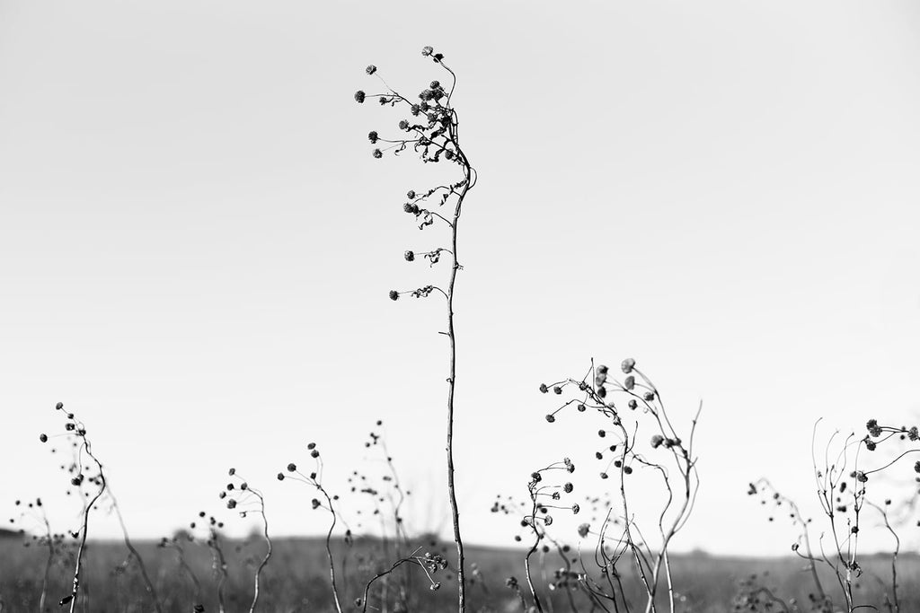 Stems and Horizon, black and white photograph by Keith Dotson. By a print here.