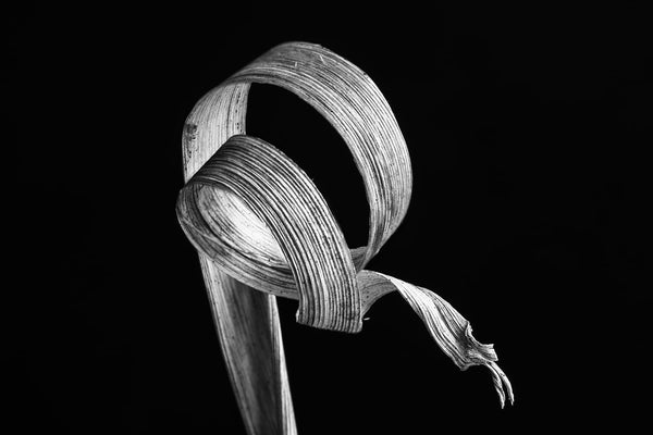 Curled Winter Grass: Black and White Photograph by Keith Dotson. Click to buy a fine art print.