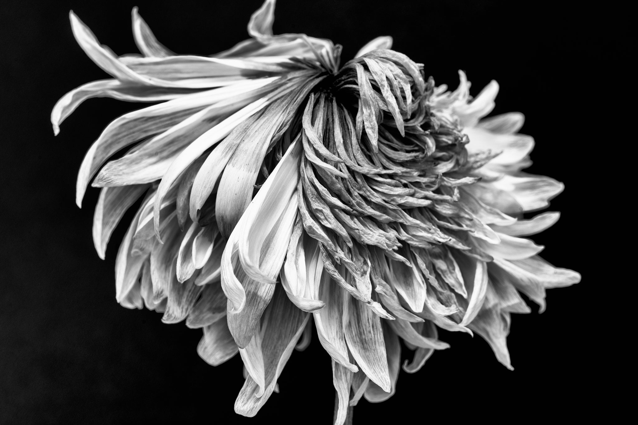 Dead Flower with Smashed Petals: Black and White Photograph by Keith Dotson. Buy a fine art print.