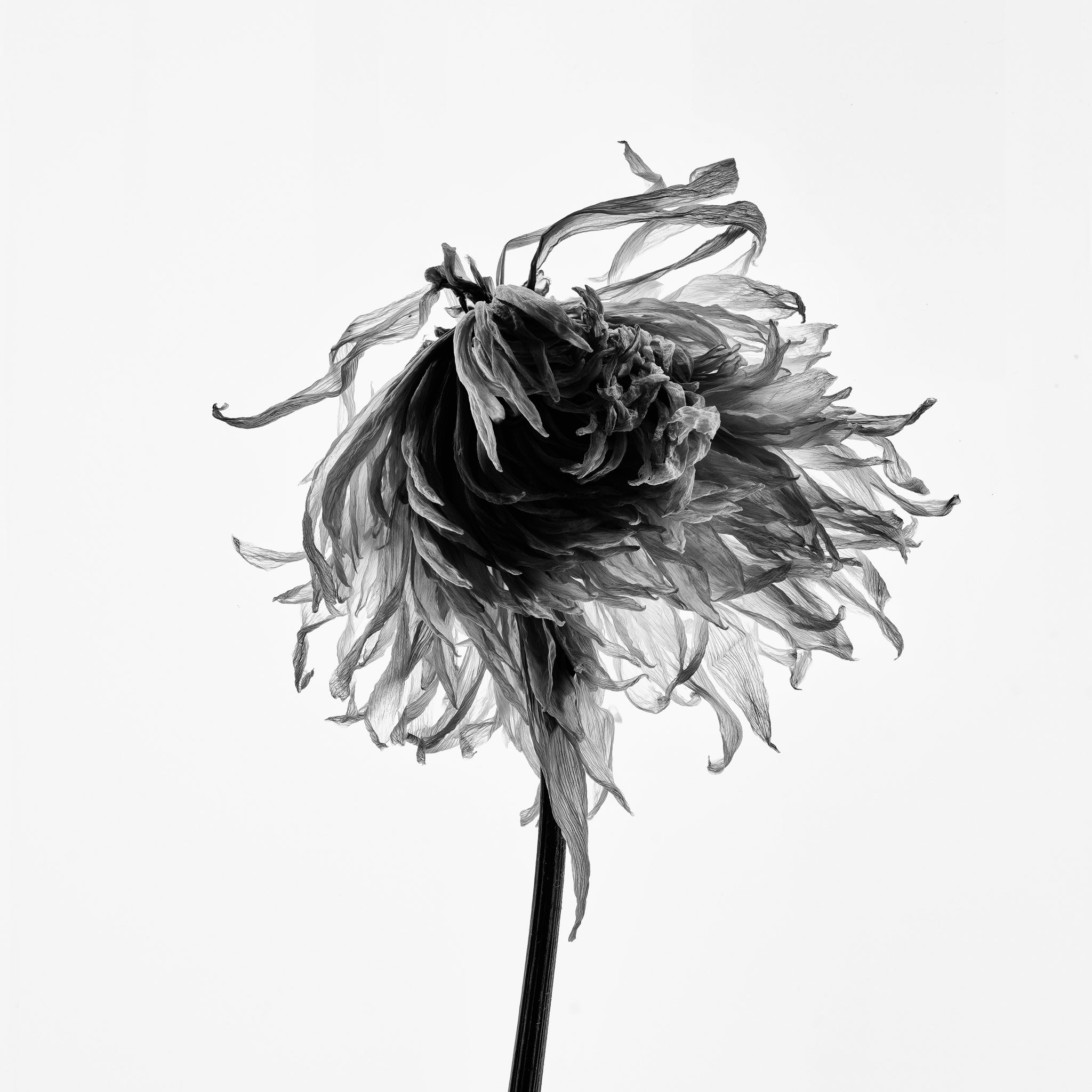 Flower Head on a Backlight, black and white photograph by Keith Dotson. Buy a fine art print.