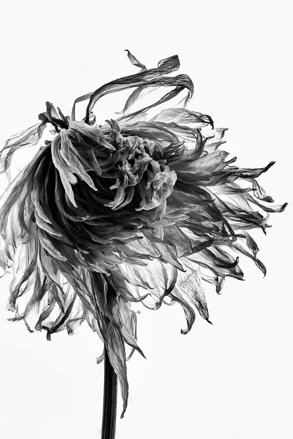 Dead Flower Detail, Black and White Photograph by Keith Dotson.