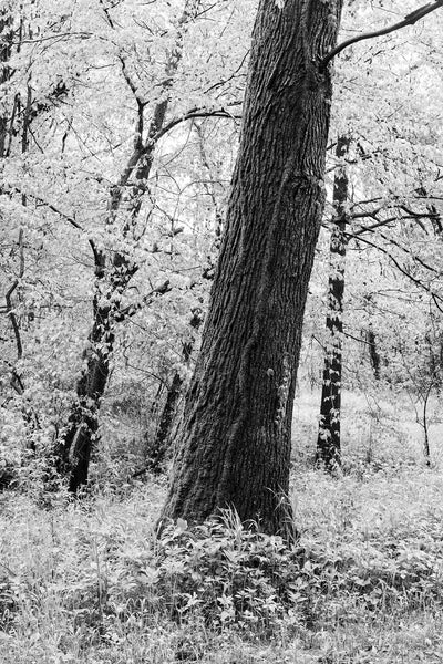 Springtime Trees, black and white photograph by Keith Dotson. Buy a fine art print here.