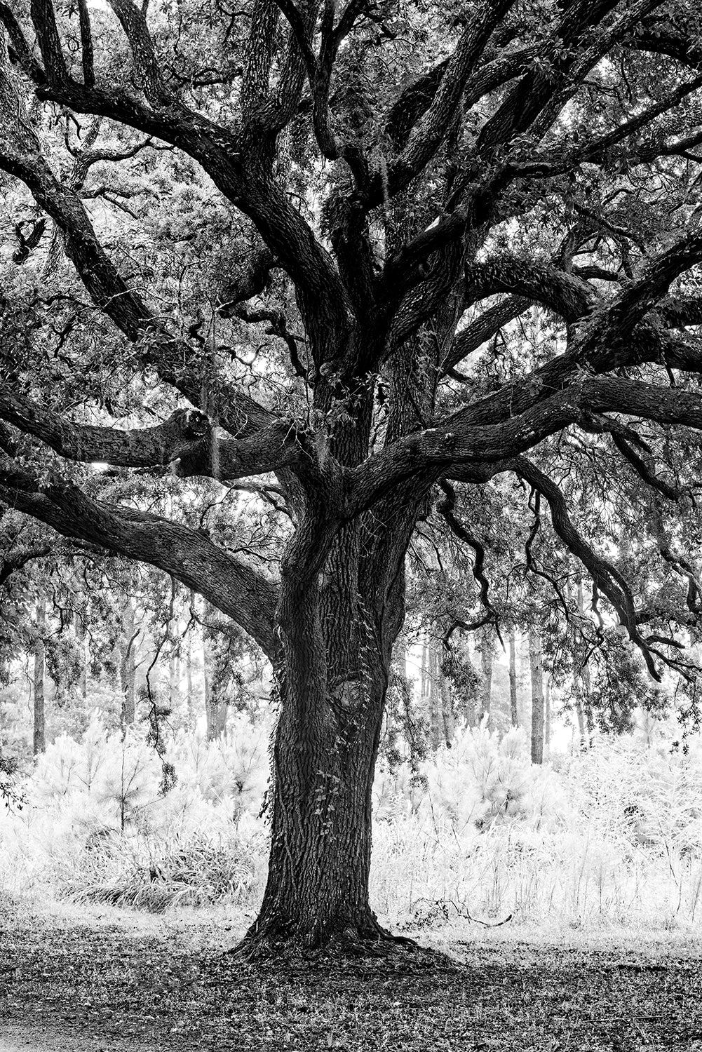 Edisto Island Oak - Black and White Landscape Photograph by Keith Dotson. Buy a fine art print.