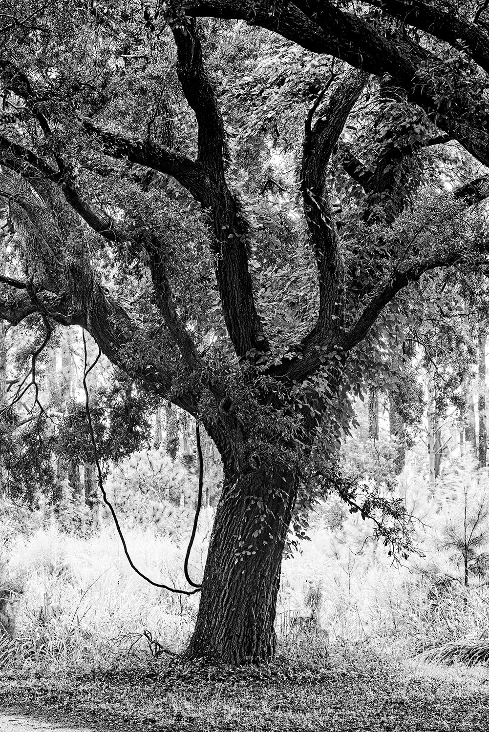 Big Southern Oak - Black and White Landscape Photograph by Keith Dotson. Buy a fine art print here.