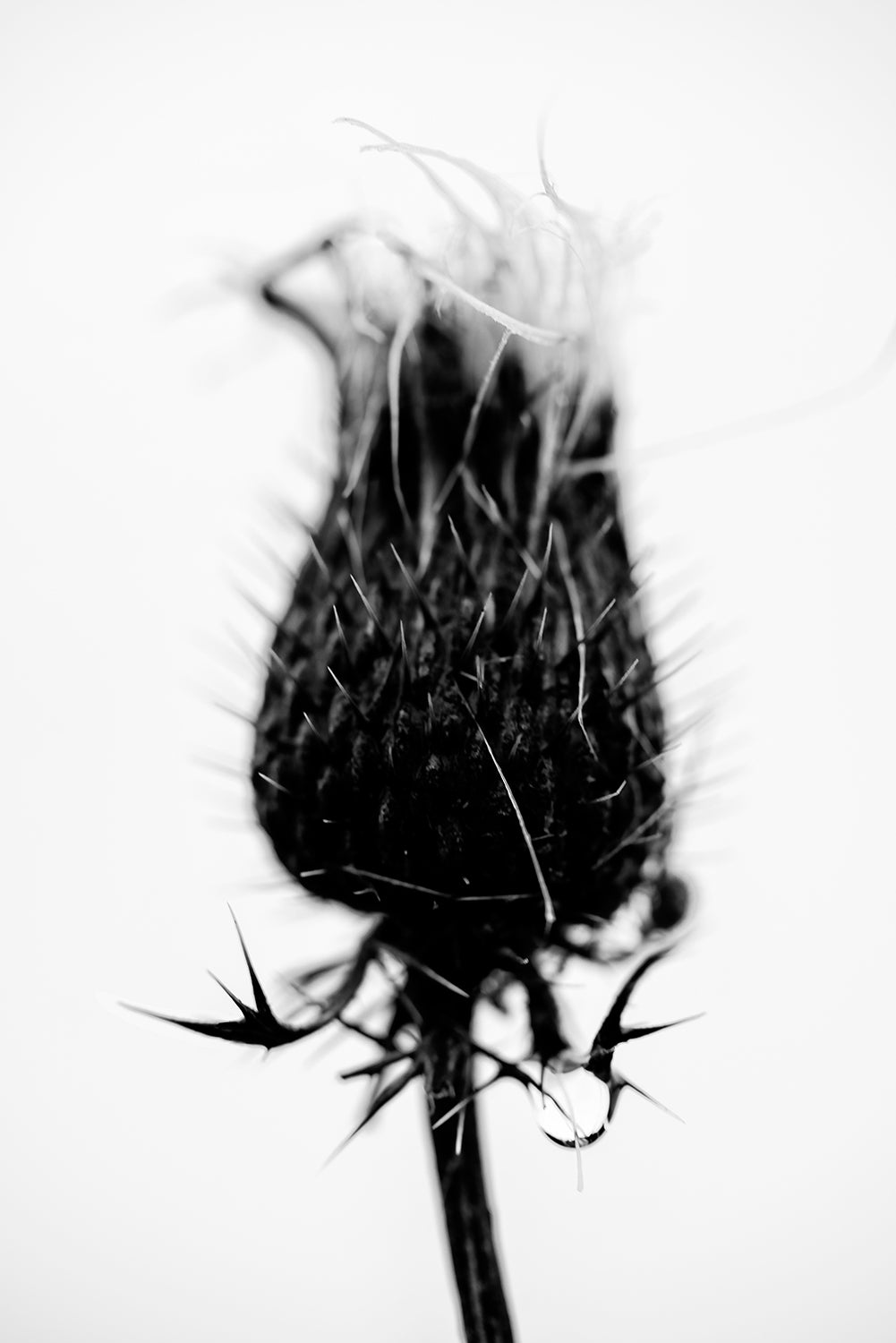 Rainy Day Thistle. Black and White Photograph by Keith Dotson. Click to buy a fine art print.