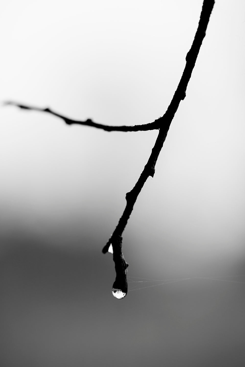 Tree Branch with Rain Drop. Black and White Landscape Photograph. Buy a print.