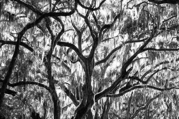 Sunlight through Spanish Moss in Big Southern Oak Trees - Black and White Photograph by Keith Dotson. Buy a print.