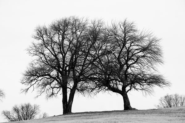 Winter Trees black and white photograph of big black barren trees on a hillside in winter