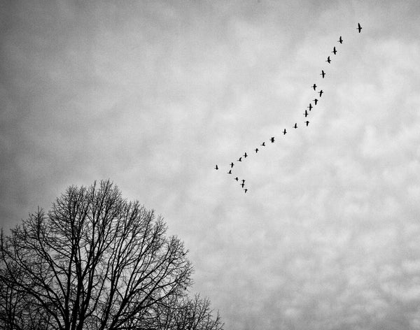 Canadian Geese Flying South, black and white landscape photograph by Keith Dotson. Click to buy a fine art print.