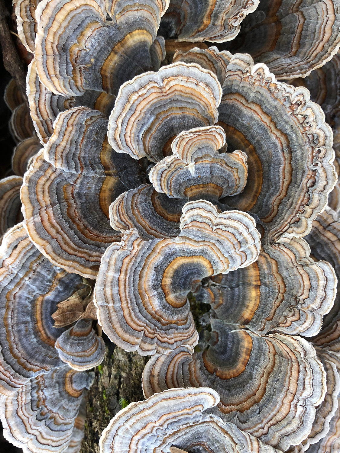 Smart phone photograph of colorful tree fungus on a fallen tree in the forests of North Carolina, shot by fine art photographer Keith Dotson.