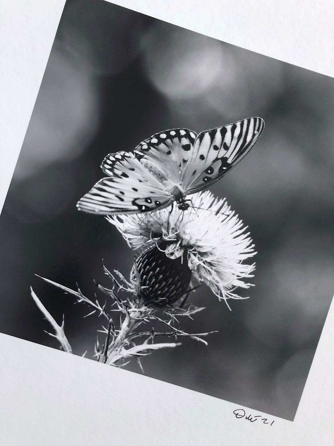 Black and white photograph of a Gulf Fritillary butterfly on a purple thistle. At 8 x 8-inches, this was the smallest print in the project.