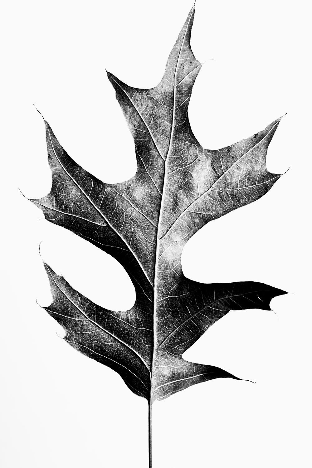 Fallen Oak Leaf - Black and White Photograph by Keith Dotson. Buy a fine art print here.