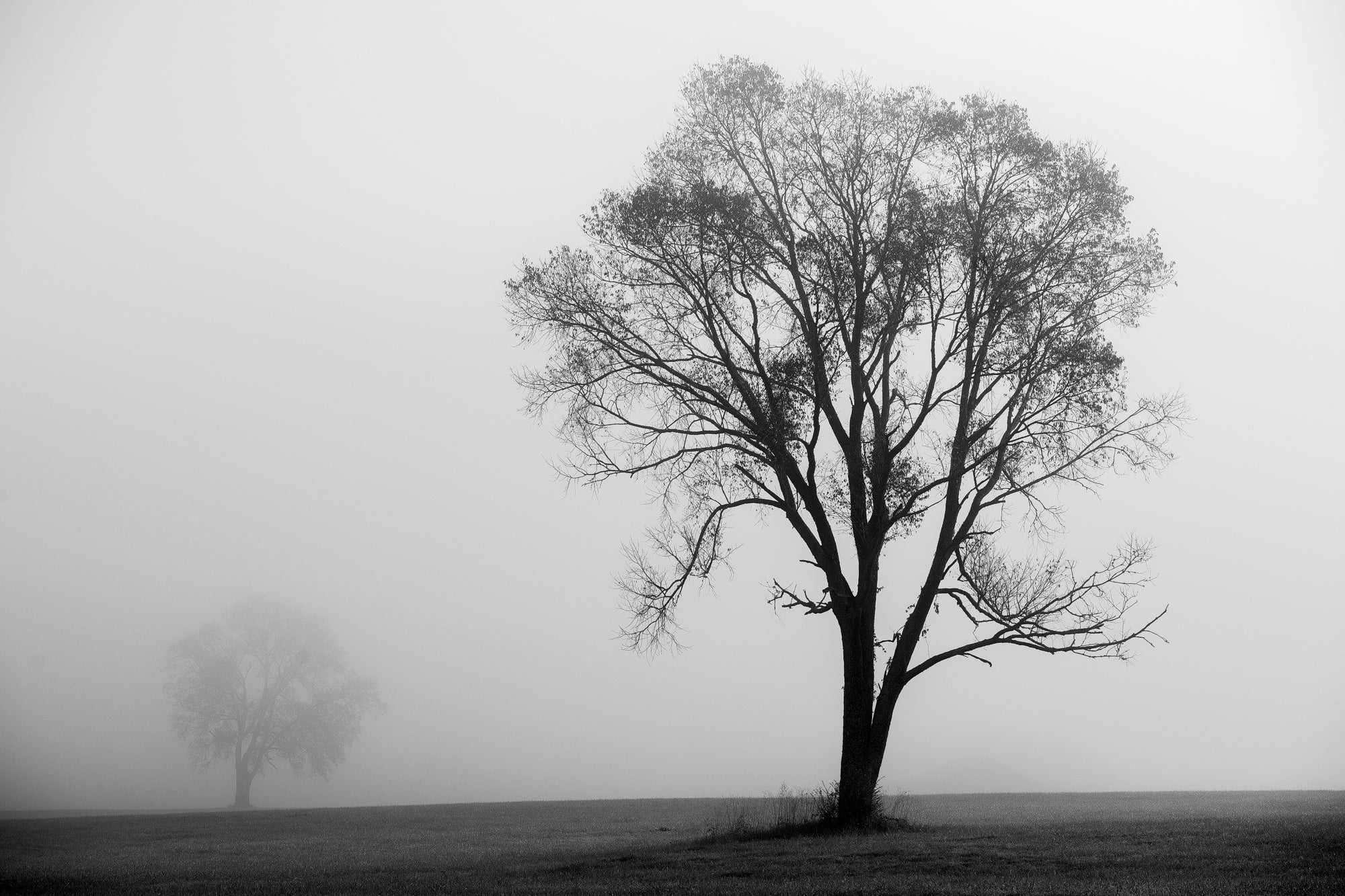 Two trees in a foggy landscape