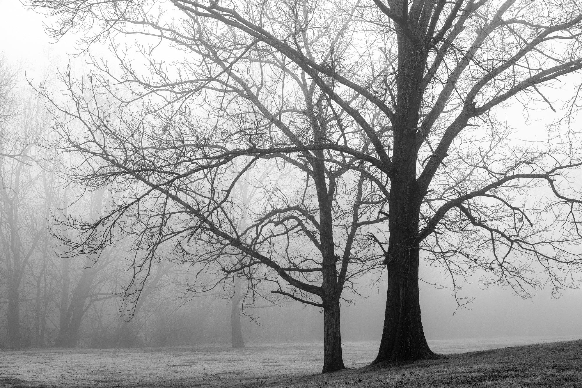 Big Trees in Morning Fog - Black and White Landscape Photograph by Keith Dotson. Click to buy a fine art print.