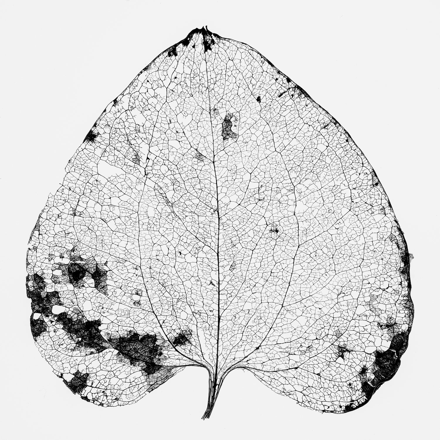 Leaf Skeleton - Black and White Photograph by Keith Dotson. Click to buy a fine art print