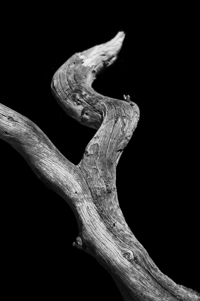 Serpent Dance, Colorado, Black and white photograph of a desert tree on black background.