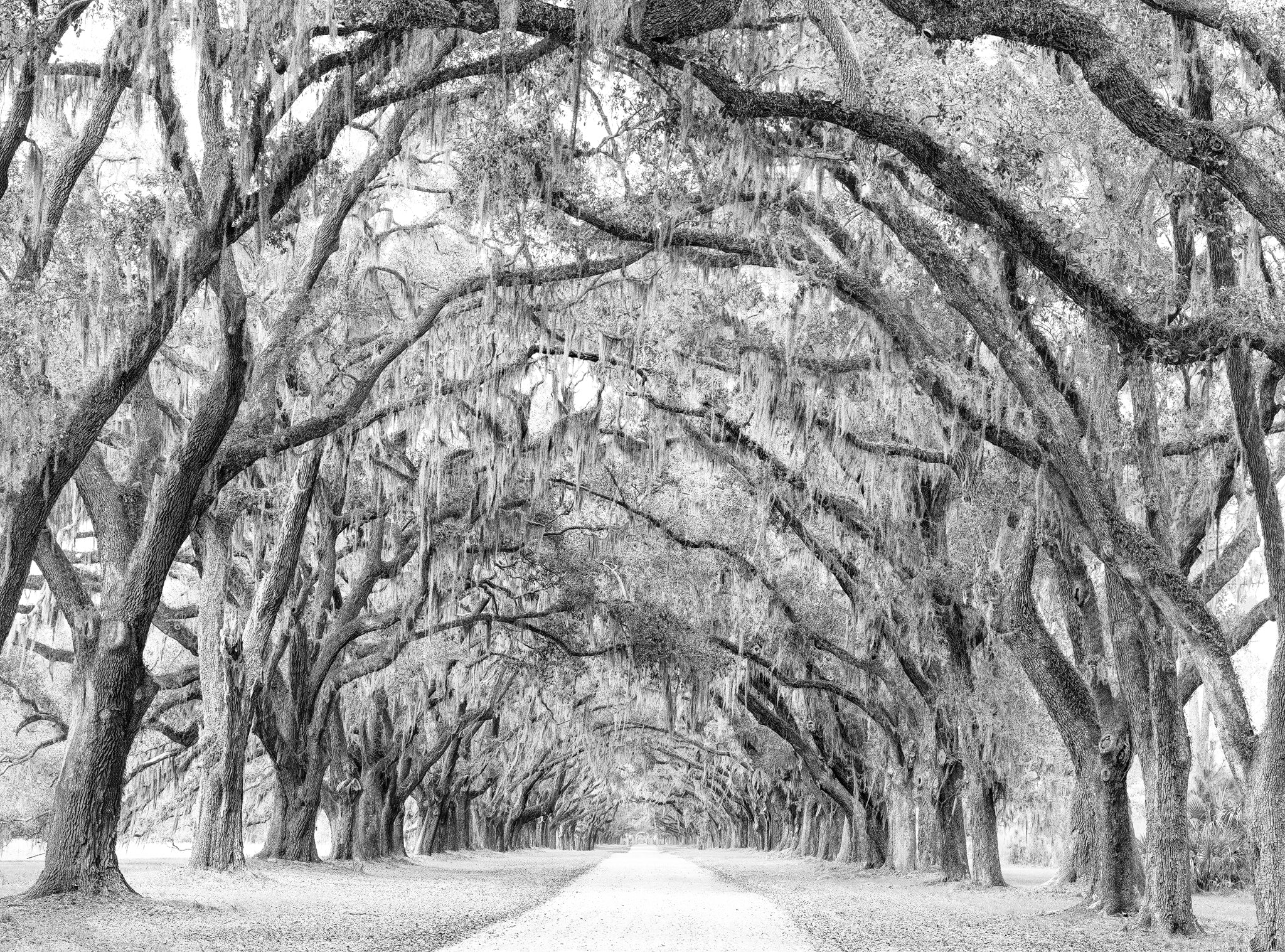 This is the composited landscape photograph of the oak alley road Keith made from approximately 9 sections