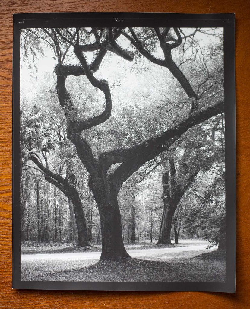 Low Country Trees: This is a hand-printed darkroom photograph exposed on luxurious Ilford Classic Matte paper at 8 inches x 10 inches. Click to buy this print.