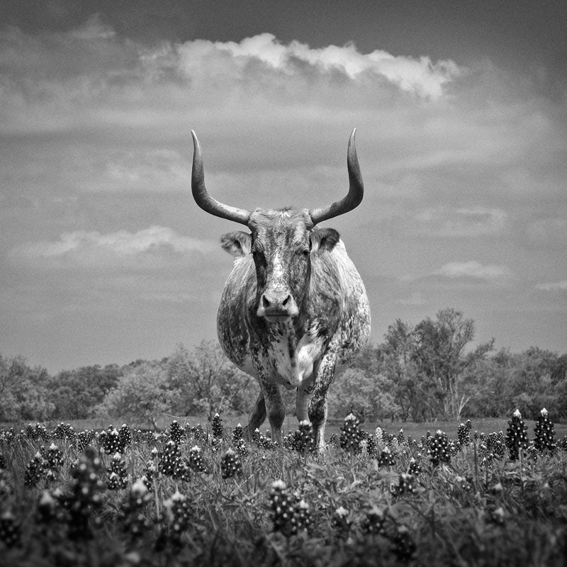 Black and white photograph of an old Texas longhorn steer, spending his golden years grazing in a pasture filled with iconic Texas bluebonnet wildflowers.