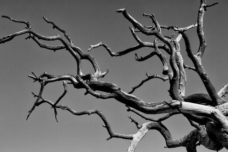 Black and white fine art photograph of the gnarled branches of a dead tree reaching out across a pure blue Colorado sky.