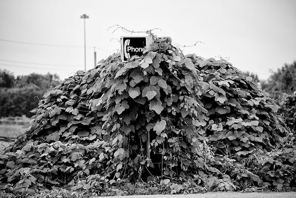 "Black and white photograph of an old telephone booth completely covered in ivy, with only part of the ""Phone"" sign sticking out of the ivy."