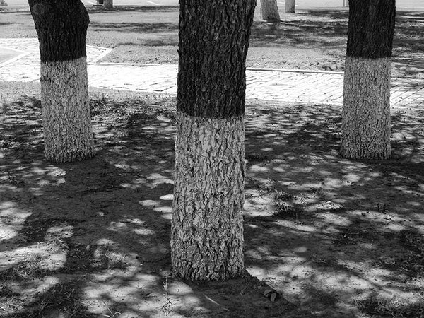 Black and white photograph of three painted tree trunks in a sundappled plaza in the small West Texas town of Pecos.