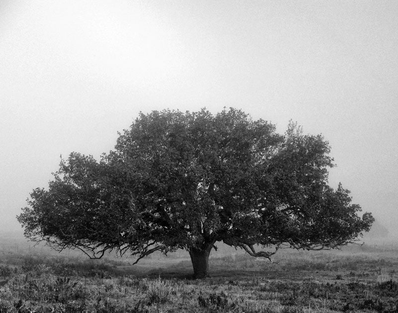 Black and white landscape photograph of a beautiful big tree in the Texas Hill Country near Burnet, shrouded in an early morning fog.