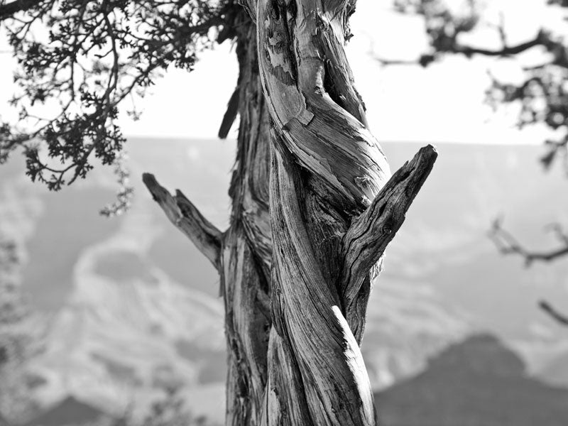 Black and white landscape photograph of a twisted tree standing on the South Rim of the Grand Canyon, in Arizona.