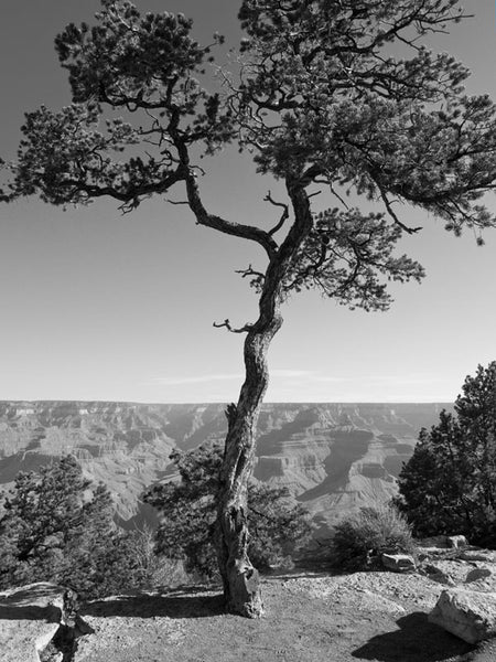 Black and white landscape photograph of a tree standing on the South Rim of the Grand Canyon, in Arizona.