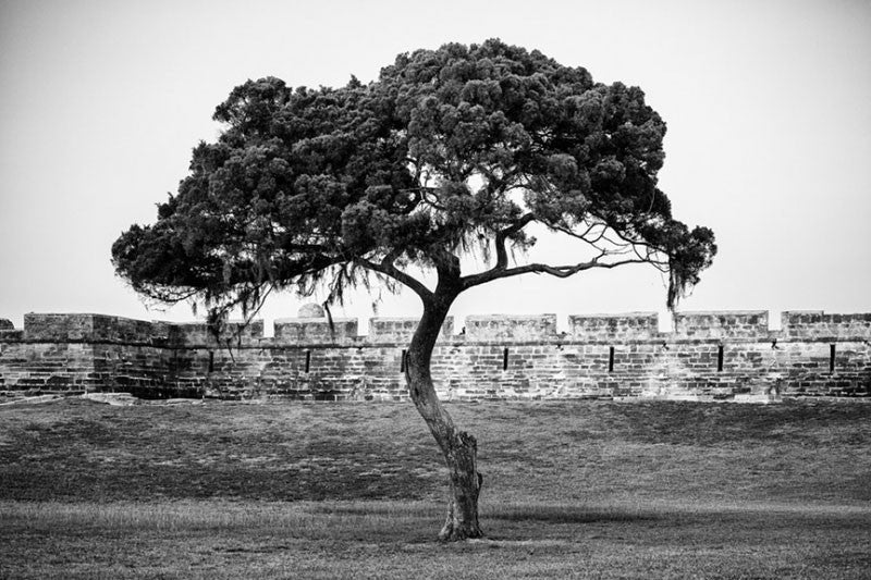 Black and white photograph of one of the windblown trees on the grounds surrounding the Castillo de San Marcos, St. Augustine's historic Spanish fort built in the late 1600s on the shore of Matanzas Bay.