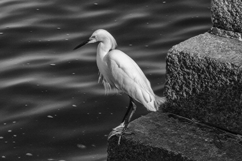 Black and white landscape photograph of a white egret fishing along the Atlantic shore at St. Augustine.