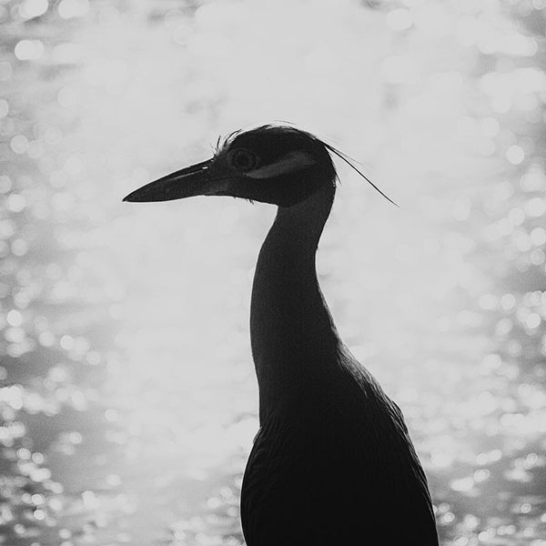 Black and white fine art photograph of a beautiful heron captured in silhouette against sunset glaring from the water.