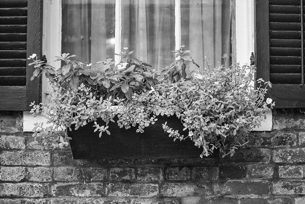 Black and white photograph of flowers blooming in a window box on a historic building in St. Charles, Missouri.