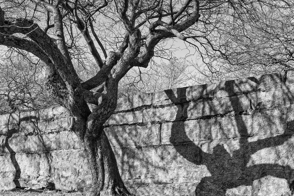 Black and white photograph of a tree casting a spooky shadow onto the perimeter  wall outside the historic Old Burying Point Cemetery in Salem, Massachusetts. The tree shadow resembles some type of scary goblin.