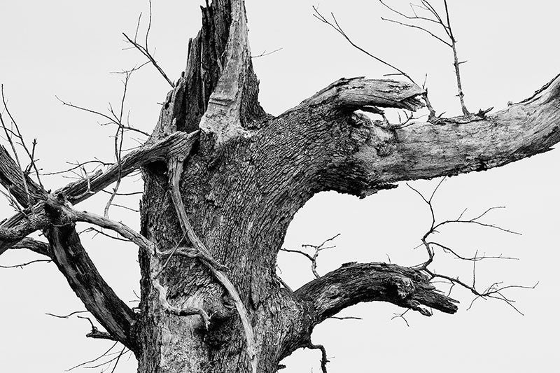 Black and white photograph of a big, broken old tree against the white of a winter sky.