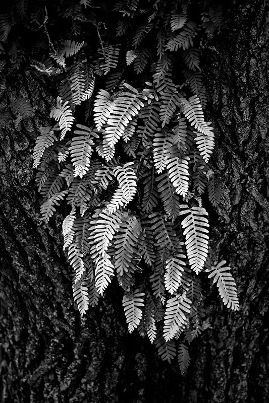 Black and white photograph of a tree with ferns growing from its bark.