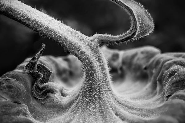 Black and white detail photograph of the fuzzy stem and back of a sunflower blossom with its head bowed in early morning.