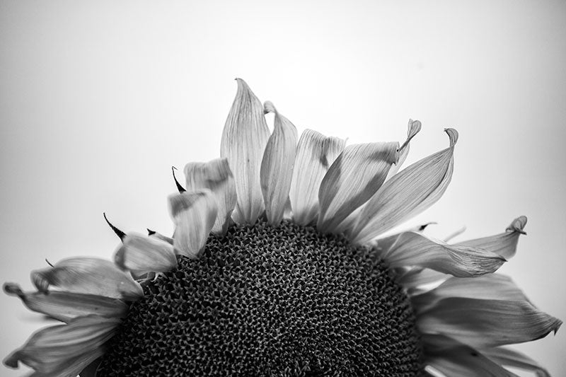 Black and white photograph of a sunflower in the early morning just before sunrise.