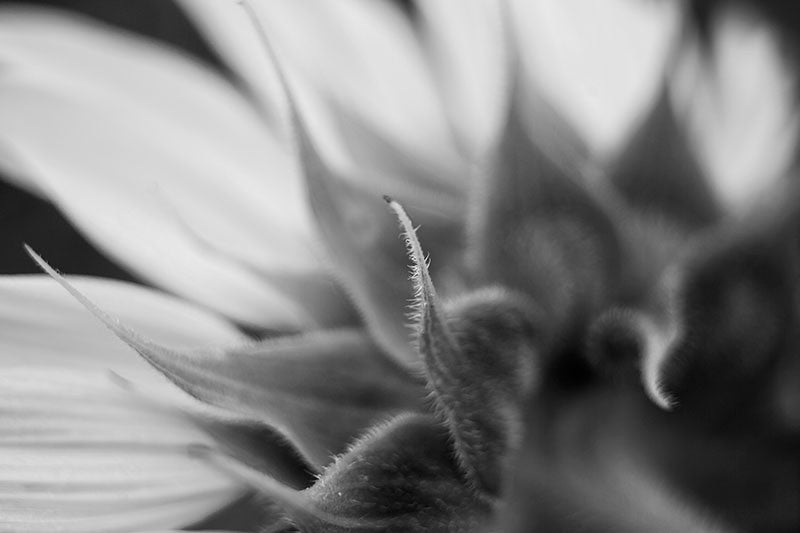 Black and white macro photograph of a fuzzy, curled leaf from the back of sunflower.  Note that because of the way this was photographed, only a small part of the image is in focus, and the rest is out of focus.