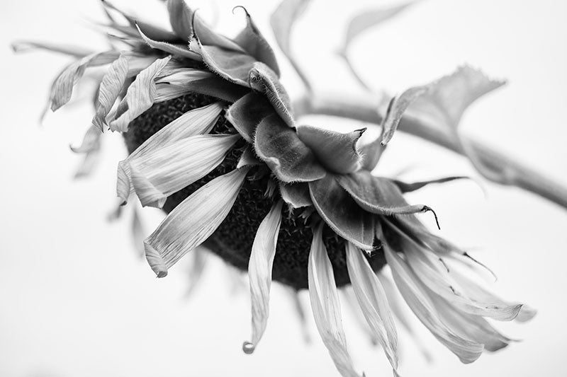 Black and white photograph of an aging sunflower with twisted and textured petals, seen from the side.