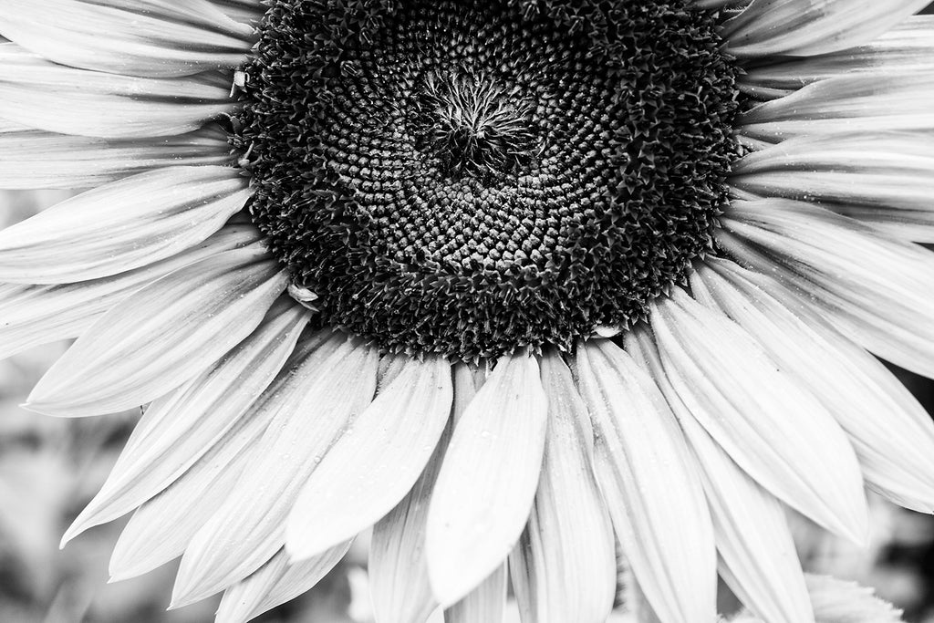 Sunflower Close-Up Black and White Photograph (A0011733)
