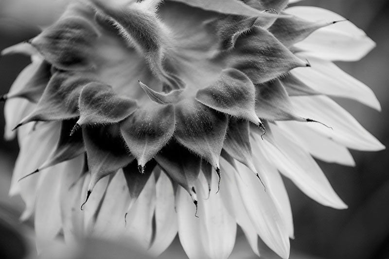 Black and white photograph of the fuzzy back of a sunflower bloom in early morning.