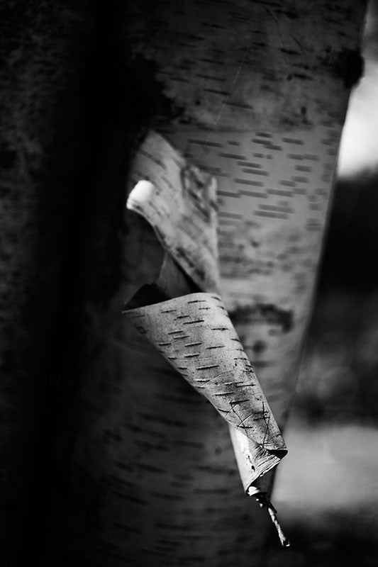 Black and white photograph of the curled bark peeling away from the trunk of a paper birch tree.