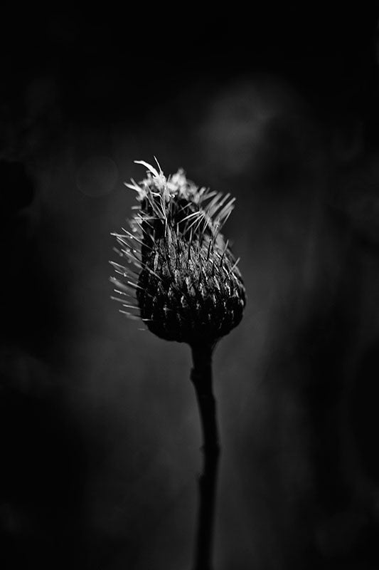 Moody black and white photograph of a thistle plant on a rainy winter day.