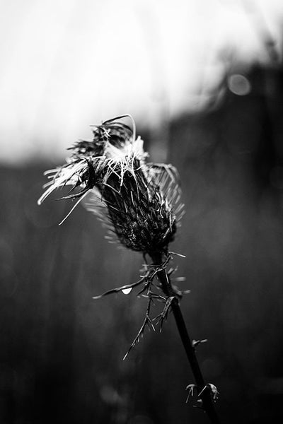 Black and white photograph of a rain soaked thistle on a dark, gloomy day.