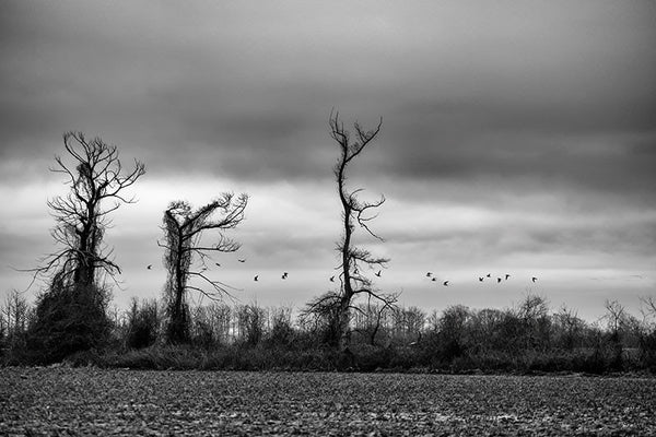 Black and white photograph of flocks of migrating birds flying over the moody southern landscape.