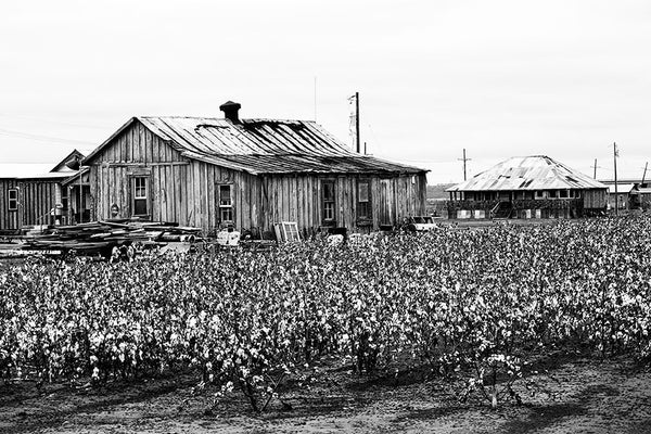 Black and white photograph of cotton fields in the Mississippi Delta near Clarksdale.